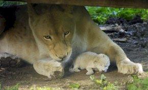 Íme a Nyíregyházi Állatpark fehér kisoroszlánja