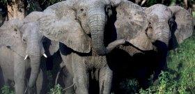 Az elefántok kifejlesztették saját biológiai fegyverüket az orvvadászok ellen