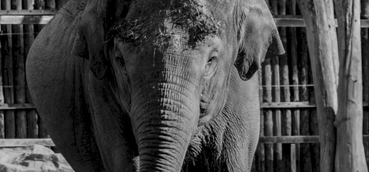 Elpusztult Asha, a budapesti Állatkert gyöngyszeme