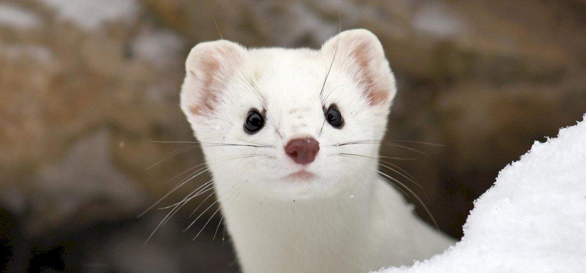 Hová tűntek a hermelinek? Sehová, csak hófehér ruhába öltöztek