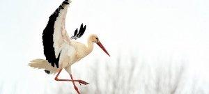 A gólya télen ázik-fázik, ám ha itt marad, akkor segítenünk kell neki