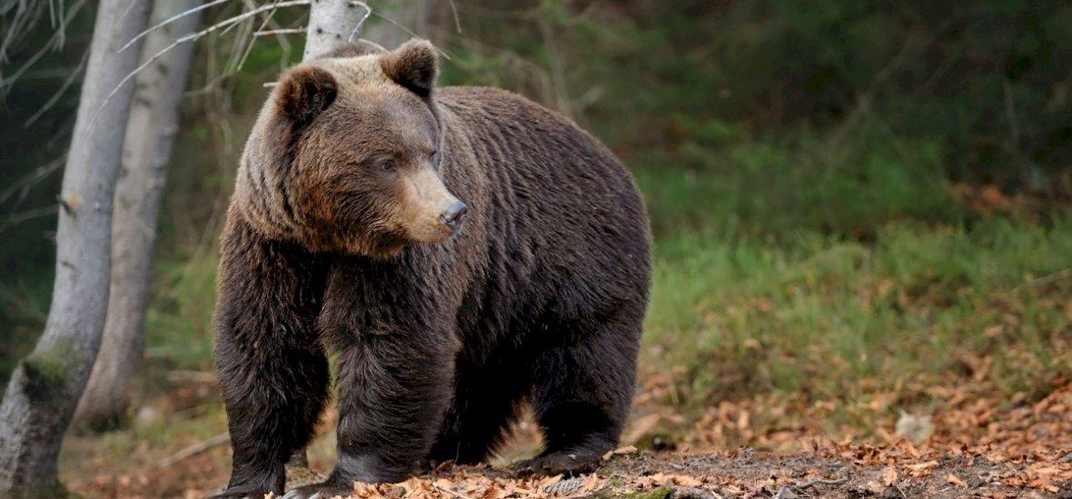 Óriási tiltakozáshullámot váltott ki a medvebetelepítés