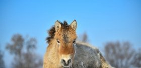 A filmelőzetes után a fotók is káprázatosak a hortobágyi vadlovakról