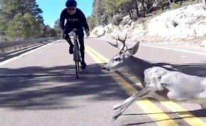 Hatalmas biciklis bukás lett a szarvas elütéséből