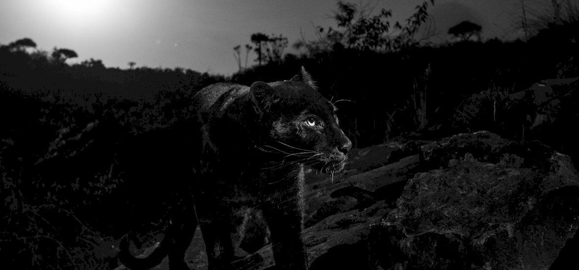 Több mint száz év után fotózták le a ritka ragadozót