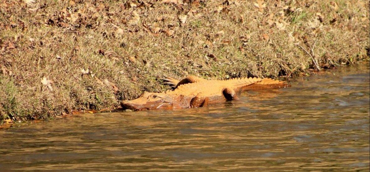 Narancsszínű aligátorok tűnnek fel Dél-Karolinában