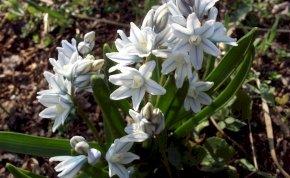 Irány a természet! Csillagvirág számlálás lesz Nyíregyháza-Sóstón