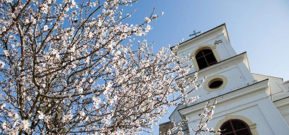 Fölényesen győzött a magyar mandulafa Európában