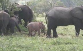 Rózsaszínű elefánt született Dél-Afrikában