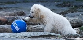 A Hertha nevet kapta a berlini állatkert jegesmedvebocsa