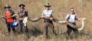 Rekordméretű pitont csíptek nyakon Floridában