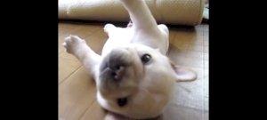 Hintakutyává vált a pár hetes, tündéri francia bulldog