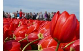 Zsolt utazása: így néz ki egy hollandiai tulipánfarm