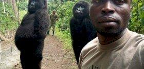 Emberré válnának az árva gorillák