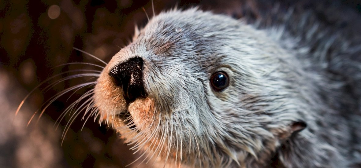 Meghalt a világ legöregebb kaliforniai tengeri vidrája, Charlie