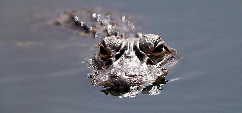 Rájöttek a krokodilok gyilkos stratégiájára
