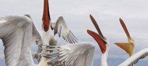 Szabadon engedték szibériai száműzetésükből a pelikánokat – videó