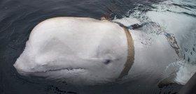 Ifjú halász és a jeges tenger, amelybe beugrott a harci delfinért