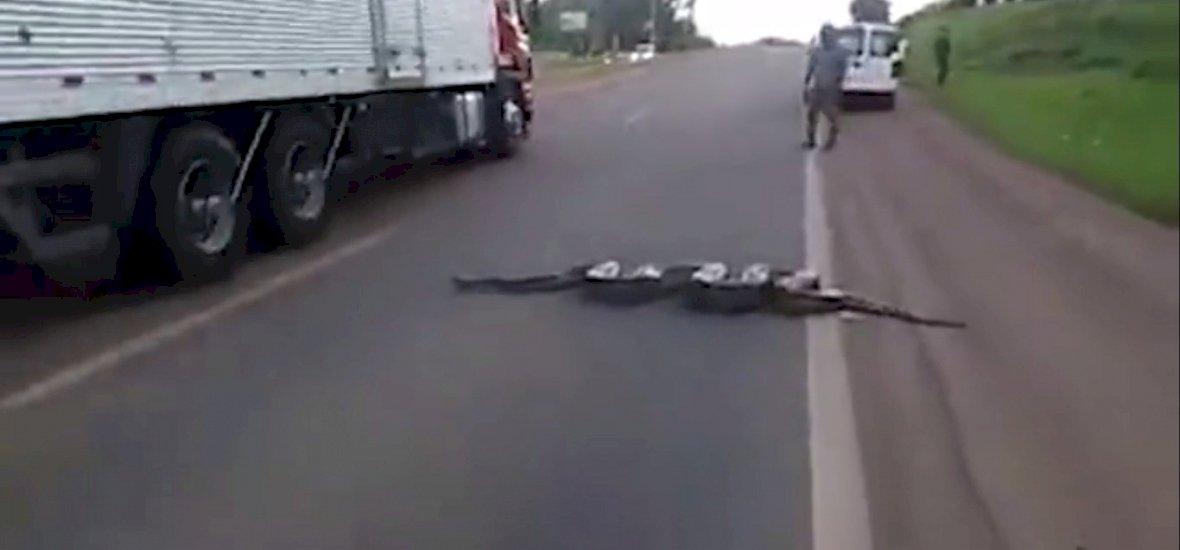 Leállt a forgalom a sztrádán, mert épp átkelt egy anakonda - videó