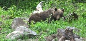 Egy medve lett a sztárvendége az erdélyi kolbászsütésnek – videó