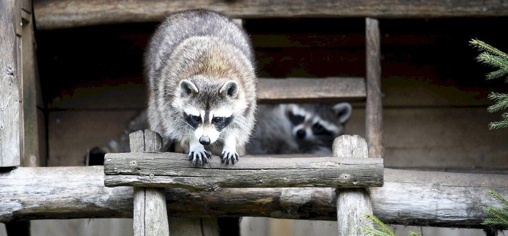 Egy mosómedve beszökött az állatkertbe, s nem akar távozni