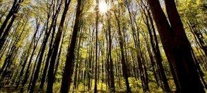 Erdőpusztítás: megmagyarázzák, hogy miért vágták ki a 180 éves bükköket