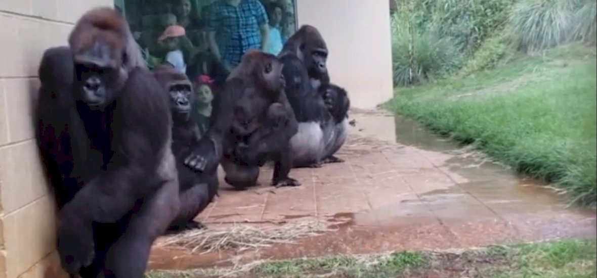 Ennivalóak az eső elől iszkoló gorillák