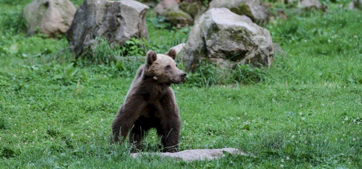 Szabadon engedték a vonat által elgázolt medvebocsot