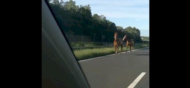 Két ló garázdálkodott az M7-esen, elfogták őket