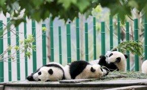 Először készült fotó vadon élő albínó pandáról – kép