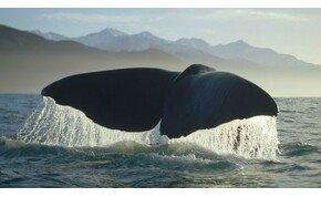 Megvan a természetfilmek fődíjasa: gyönyörű trailer a bálnákról