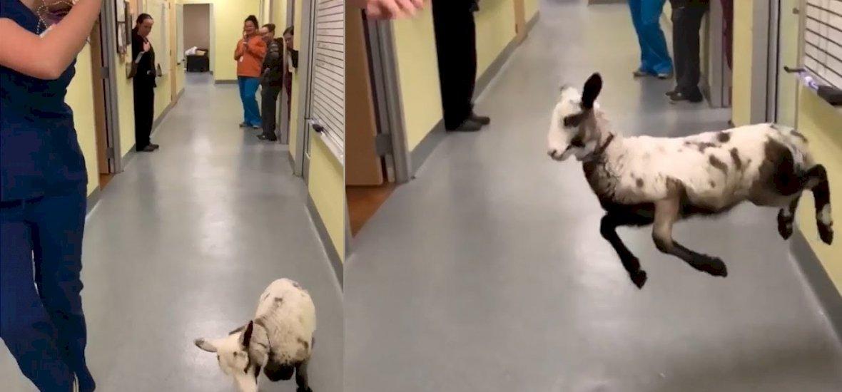 Íme egy boldog kecske, amely együtt táncol állatorvosával