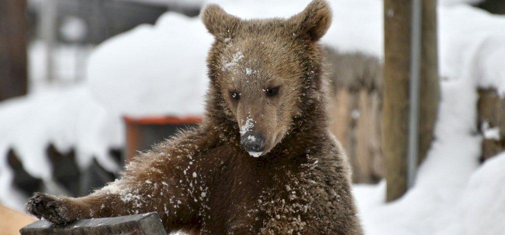 Belekóstolt a medve a sasfészekbe, 8 méter magasan – videó