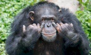 Gettókban élnek már csak a csimpánzok, végveszélybe kerültek