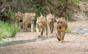 Elszabadult egy nagyobb oroszlánfalka