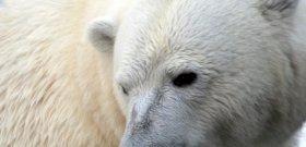 Az állatkerti jegesmedve vacsorája lett a hűsölő vadkacsa