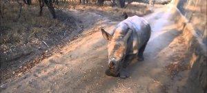 Tündéri a magát báránynak képzelő bébi orrszarvú – videó