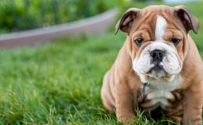 A kutyák szándékosan manipulálják az embert a bűnbánó szemeikkel