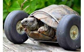 Igaz állatmese a 90 éves, kerekesszékes teknősről – videó