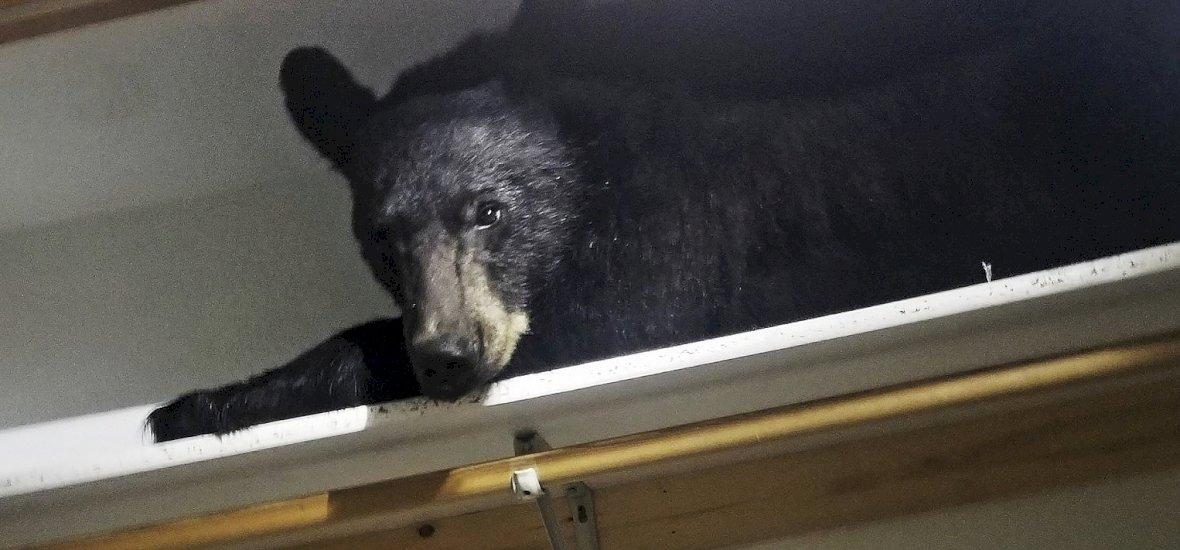 Bemászott a medve a gardróbba és mély álomba merült