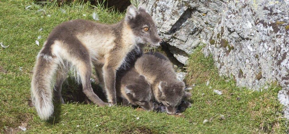 Átsétált egy róka a világ túlfelére Norvégiából, a kutatók sem értik