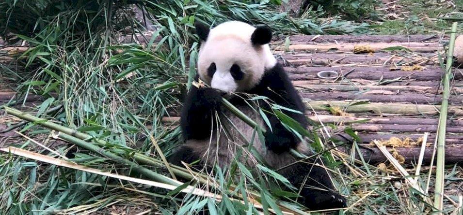 """Zsolt utazása: """"Vonattal érkeztem a világ panda fővárosába!"""" – galéria"""