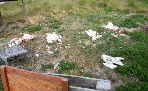 Medvebrutalitás: széttépett egy csapatnyi libát Erdélyben