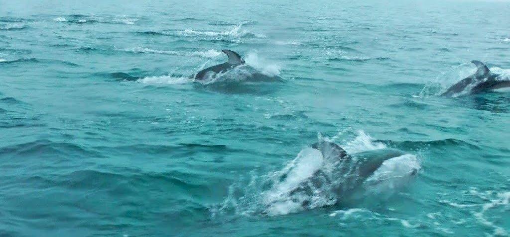 Ritka jelenség, fejvesztve menekültek a delfinek – videó