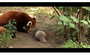 Panda ikrek születtek Nyíregyházán