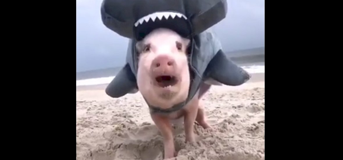 A cáparuhába öltöztetett kismalacokra nincsenek szavak – videó