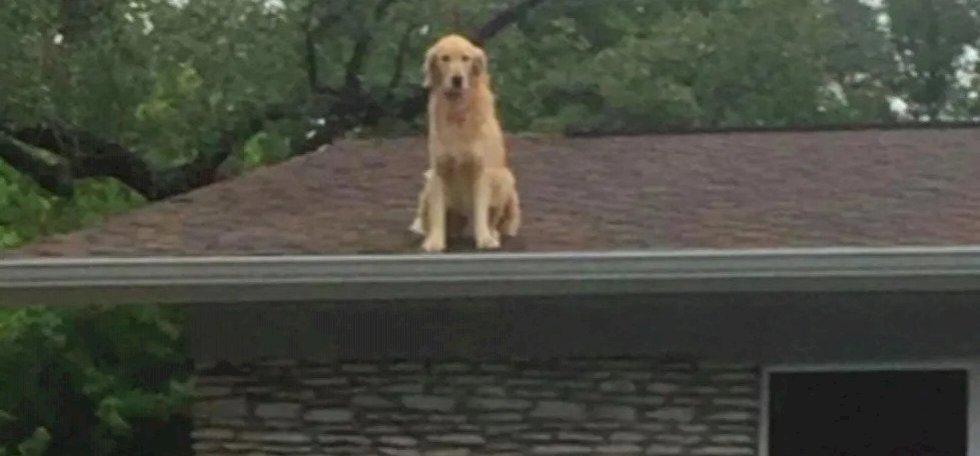 """""""Kérjük, ne szóljanak!"""" – ezért üldögél ez a Golden Retriever a háztetőn"""