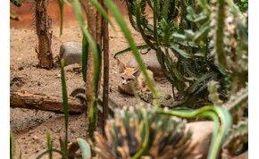 Sivatagi róka érkezett Nyíregyházára