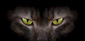 Vérfarkas kinézetű új macskafajt tenyésztettek ki – videó