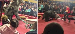 Előadás közben támadta meg idomárját a hatalmas medve – videó